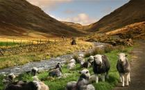 cumbria_sheep_2845958b