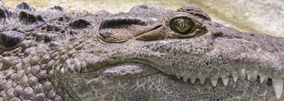 crocodile-1660537_960_720